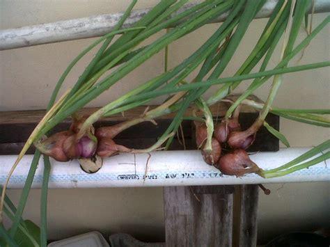 berkebun cabe cara berkebun dan menanam cabe rawit merah di pot cara