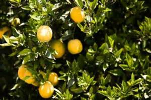 central florida fruit trees how to grow orange trees ehow