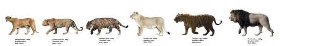 Jaguar Size Compared To Disney Vs Simba War Forum Foros Dz