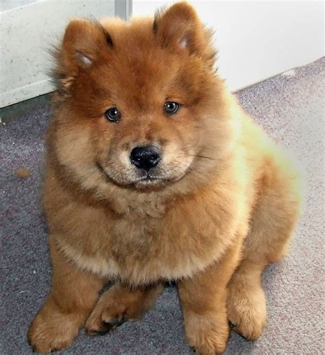 resume dox perros chow chow publish with glogster