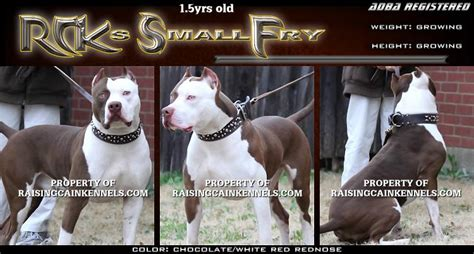 nose puppies for sale nose pitbull puppies for sale go search for tips tricks cheats