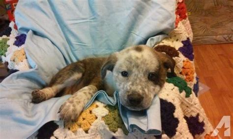 bullmastiff pitbull mix puppies for sale aussie pit mix personality myideasbedroom