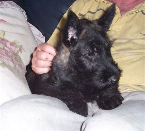 akc scottish terrier puppies for sale scottish terrier puppies for sale kate scottish terrier puppy for sale near