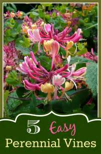 5 easy perennial vines for your garden mom foodie