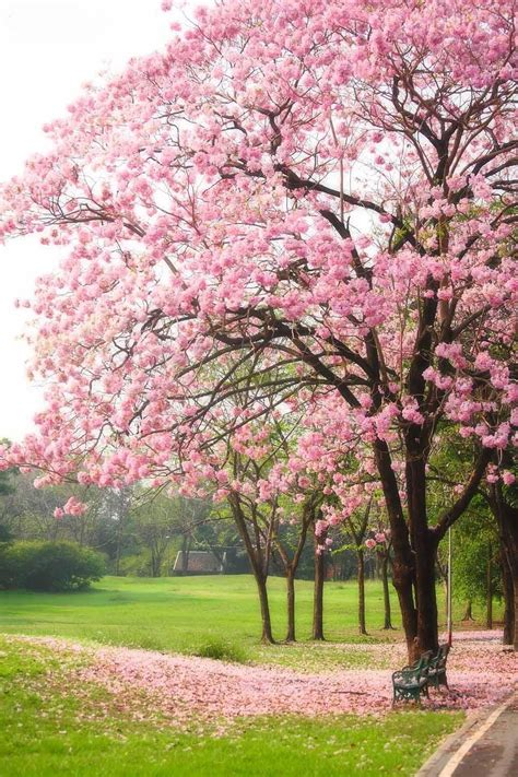 Tabebuia Rosea tabebuia rosea stunning tree i planted one of these