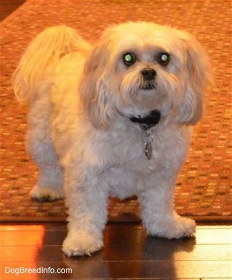 shih tzu vs poodle shih poo breed information and pictures