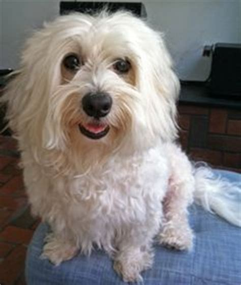 havanese rescue wisconsin 1000 images about adoptable dogs mostly havanese on havanese dogs