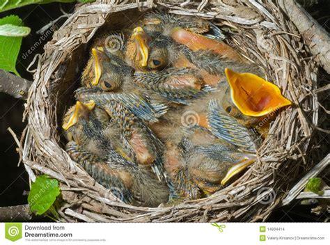 tordo alimentazione nido tordo 1 fotografia stock immagine di thrush