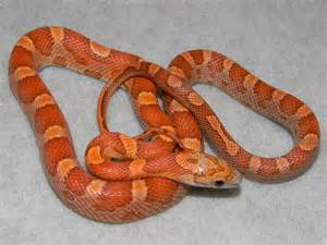sunkissed corn snakes for sale buy a sunkissed corn snake
