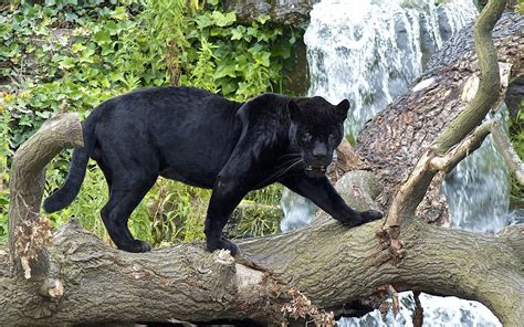 Animal Black panther hd wallpaper and background image 1920x1200