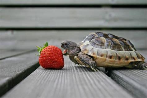 alimentazione tartarughe di terra piccole cosa mangiano le tartarughe di terra