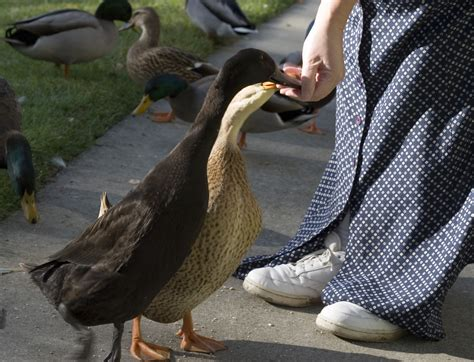feeding ducks by hand photo page everystockphoto