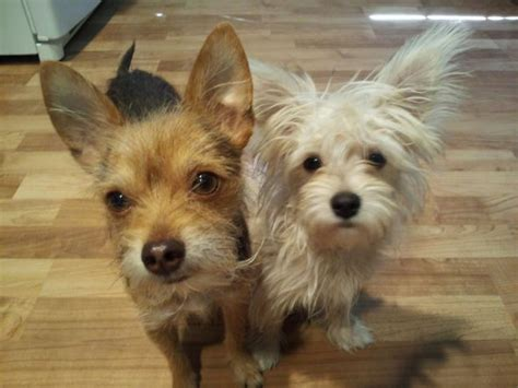 short haired dorkie mixes haired dorkie mixes 13 pictures of chihuahua yorkie mix