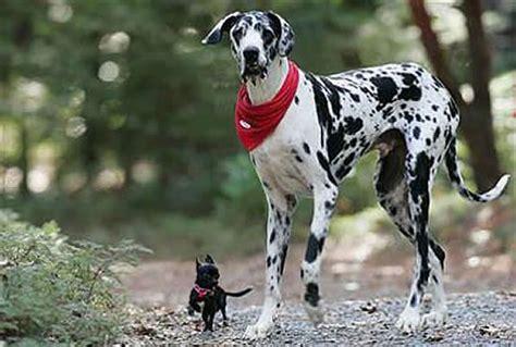 gran danes puppy gran danes 4 dogs