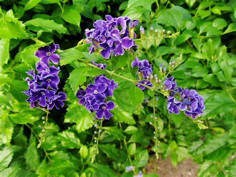 panoramio photo of 蕾絲金露花 sky flower duranta repens