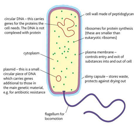 Salmonella Bacteria Diagram
