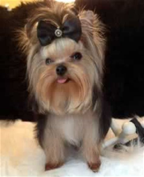blue and gold yorkie puppies for sale parti yorkies for sale yorkie puppies sale elvis terrier