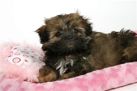 how much does a pomeranian puppy cost uk how much do shih tzu puppies cost without papers 28 images how much does a shih