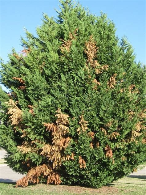 tree problems drought stress your trees are more susceptible to pests