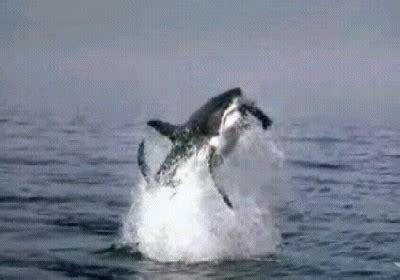 ataque mortal de un gran tiburon blanco ataque del gran tibur 243 n blanco noseas com