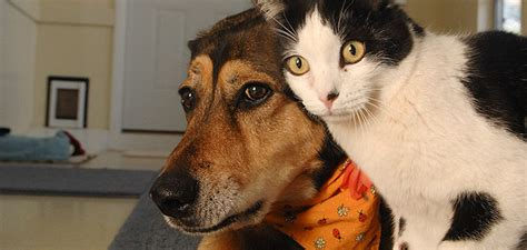 introducing cats and dogs how to introduce a to a cat best friends animal society