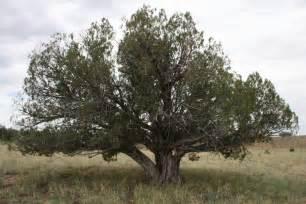 gallery juniper tree