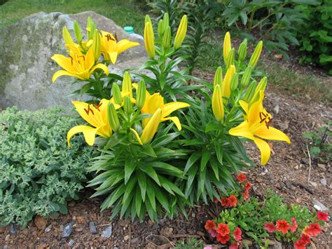 comparing oriental lilies to asiatic lilies what grows
