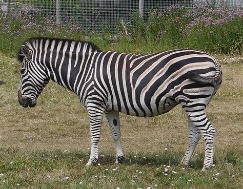quagga software wikipedia datei equus quagga chapmanimarwell jpg wikipedia