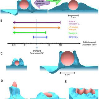 zipper mechanism  phagocytosis energetic