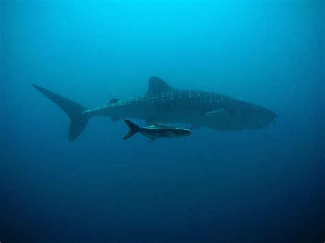 baby shark full ringtone top 10 heaviest animals in the world