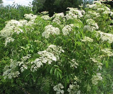Teh Kuncup Bunga Mawar 9 bunga yang bisa dimakan jitunews