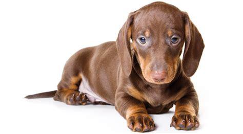alimentazione cani piccola taglia l alimentazione di piccola taglia