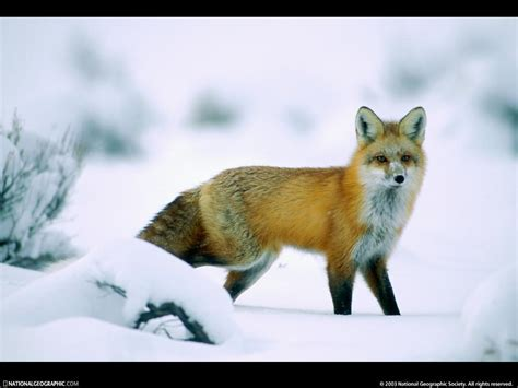 animals in the winter wildlife wallpaper winter amazing wallpapers