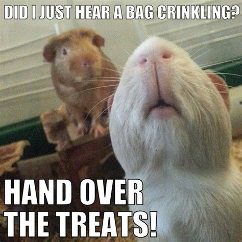 Shaved Guinea Pig Meme - 17 best ideas about guinea pig house on pinterest