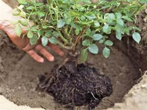 tips for planting and transplanting roses