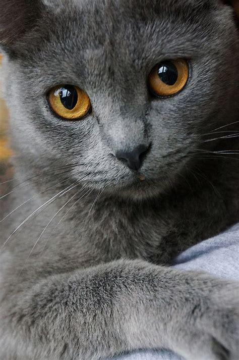 best 25 korat cat ideas on pinterest grey cat names chartreux and russian personals