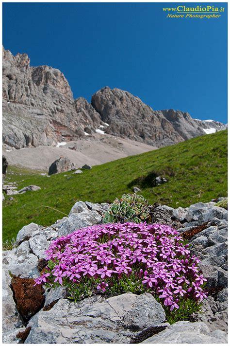 fiore di montagna nomi fiori di montagna flowers altitude flores de altitud