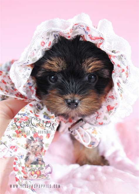 where can i get a teacup yorkie for cheap poodle puppies for sale south florida teacups puppies boutique