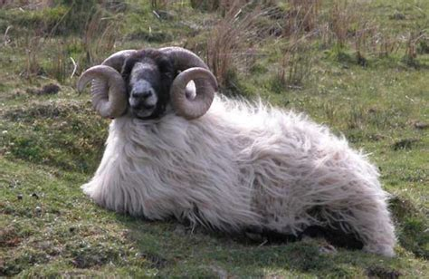 sheep amp ram pictures pics images and photos for your