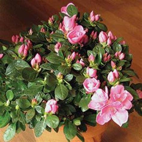best indoor flowering plants flowering indoor plants