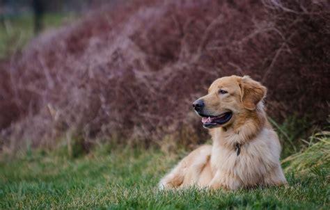 golden retriever that stays puppy size wallpaper golden retriever golden retriever stay images for desktop section