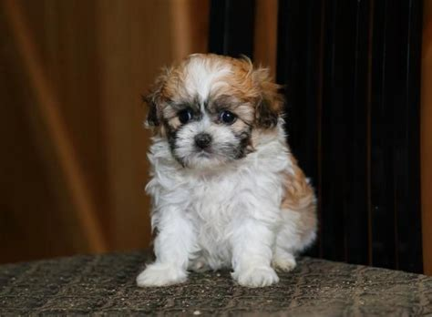 shichon puppies for sale in michigan 17 best ideas about shichon puppies for sale on puppy teddy