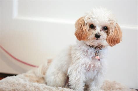 pictures of maltipoo puppies maltipoo breed information pictures characteristics facts dogtime