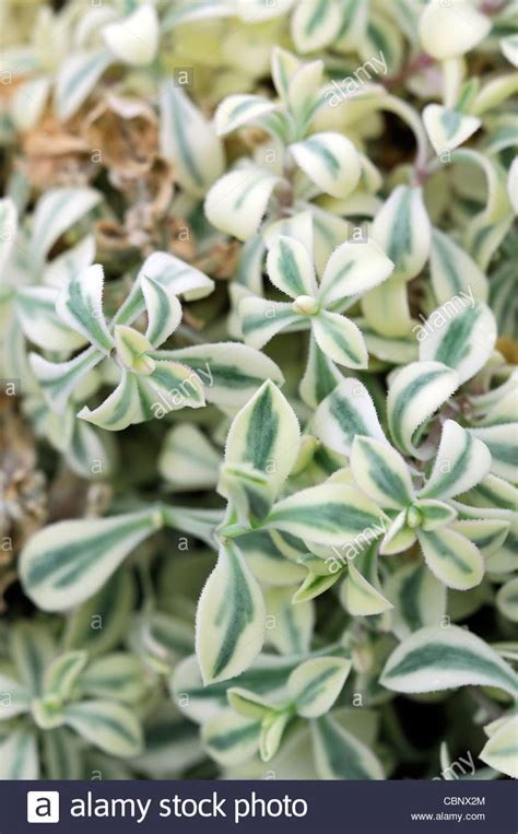 green and white foliage plants silene uniflora druetts variegated closeup plant portraits