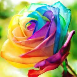 colorful roses 25 best ideas about rainbow roses on rainbow