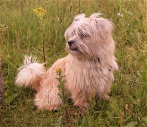 shih tzu terrier mix weight care tzu mix of cairn terrier and the shih tzu