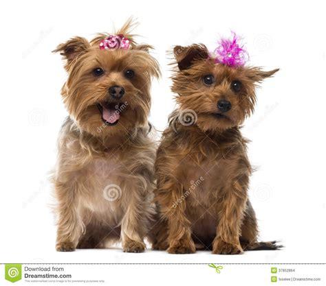 yorkie panting two terrier wearing bows panting sitting stock images image 37852864