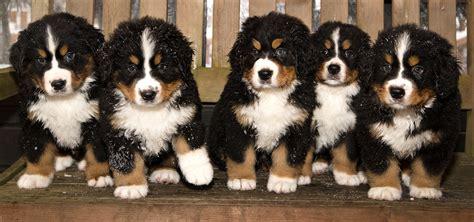 tucson puppies bernese mountain puppies available in tucson az