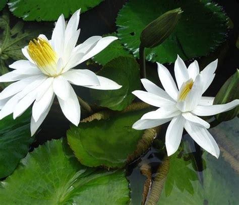 Jual Bibit Bunga Teratai Salju jual tanaman teratai capensis putih bibit