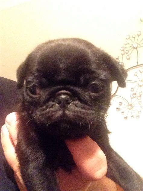 pug puppies for sale in kerala thrissur boxer dogs for sale in kerala boxer dogs for sale in breeds picture